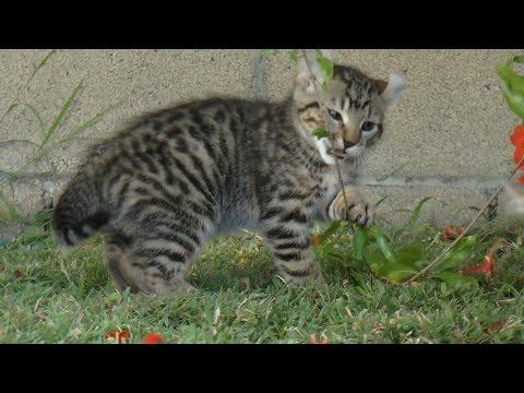 Lynx Hybrid - Exotic Lynx kittens A Rare Breed