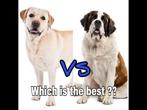Comparision of saint bernard or labrador || whisch dogs is th best ?? || dogs biography