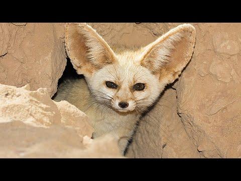 Вопрос: Чем отличается лисица фенек от обычной лисы?