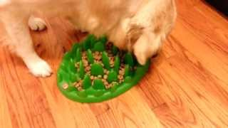 English Cream Golden Retriever - Eating Dinner From Northmate Green Interactive Feeder Dish