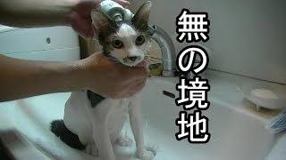 無表情で洗われる猫 thumbnail