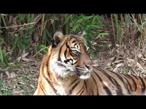 Sumatran tiger roaring and growling