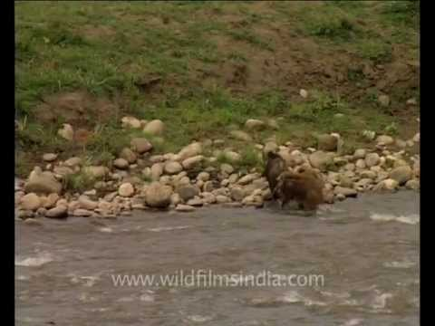 Swimming wild boar!
