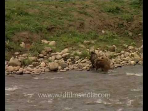 Swimming wild boar!