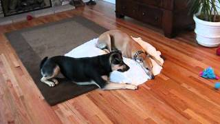 Play With Me!  German Shepherd Rottweiler Mix Vs. Greyhound