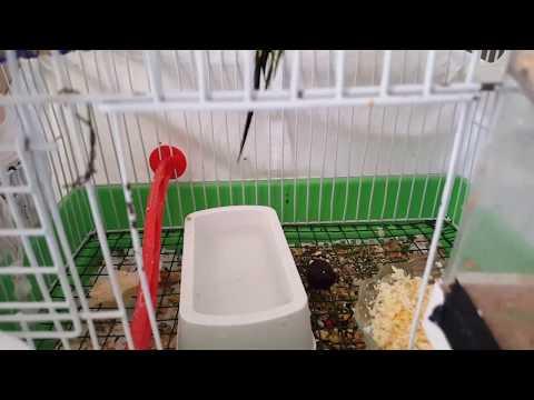 Muhabbet Kuşu Sıcaktan Nasıl Korunur