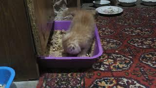 Маленький и умненький котёнок ходит в лоток