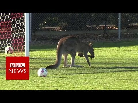 Kangaroo Pitch Invader Halts Australian Football Game - BBC News