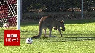 Kangaroo pitch invader halts Australian football game - BBC News