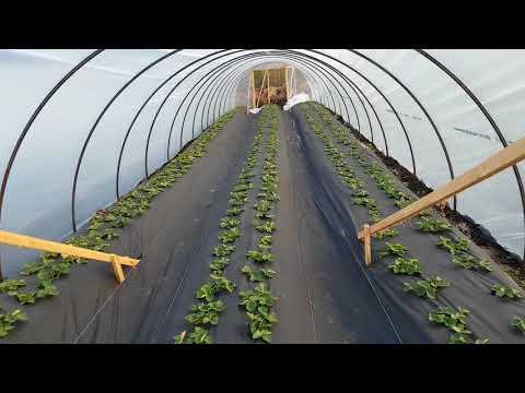 Как выращивают клубнику в теплицах видео