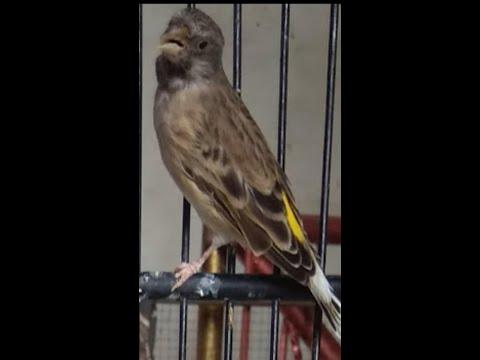 Blackthroat Gacor burung