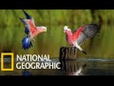 National Geographic Documentray || Birds Of Paradise || National Geographic HD || BBC Documentary