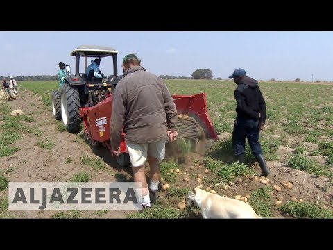 White farmers thrive in Zambia years after driven from Zimba