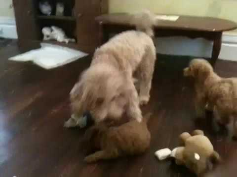 Miniature golden doodle playing with her pups