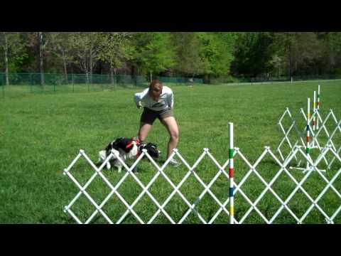 Field Bred English Springer Spaniel Flyball
