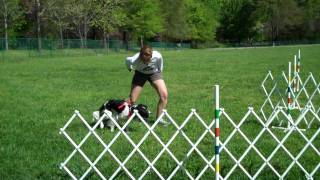 Field Bred English Springer Spaniel Flyball