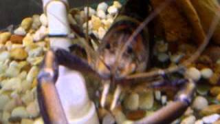 HUGE CRAYFISH WILD CAUGHT IN SOUTH FLORIDA CANAL  10 INCH FRESHWATER LOBSTER PRAWN IN AQUARIUM