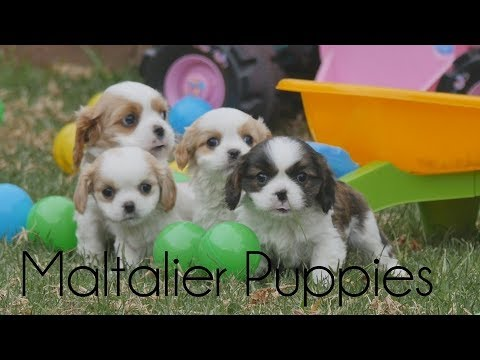 Maltalier puppies having fun with toys!!!