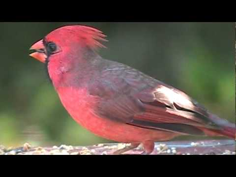 Northern Cardinal - Quick Facts