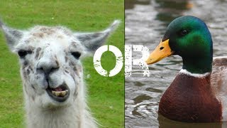 Llama Or Duck - Best Game Of 2013?