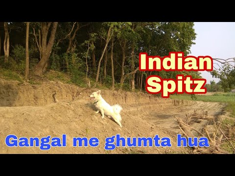 White Indian spitz dog in the jungle.( pomeranian )