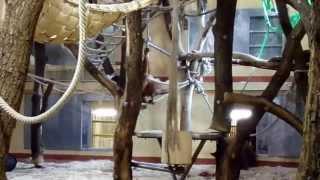 Moira the Sumatran Orangutan is playing at Budapest Zoo