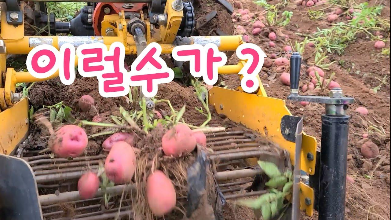 이거 실화야 ? 농부는 이럴때 춤춘다 기분 좋은 홍심이 감자 수확