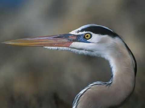 Great Blue Heron Animal Totem Youtube
