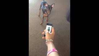 Miniature Pinscher Reaction To Cat Soundboard Cute.