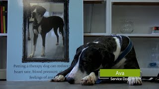 AVA the Great Dane Service Dog
