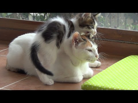 A very patient mother cat with 5 crazy active kittens !!