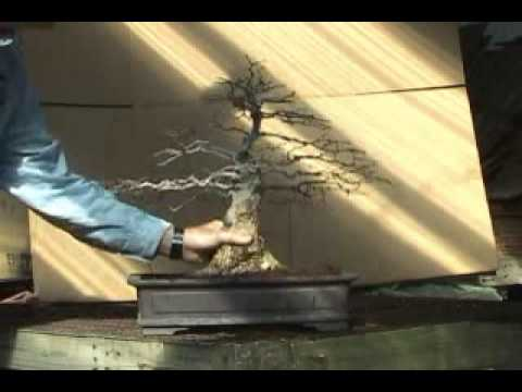 Bonsai Channel - Spring Clean - Korean Hornbeam
