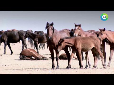 Как казахи обучают лошадей видео