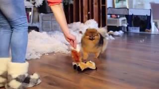 Щенок померанского (карликового) шпица- просто красавчик