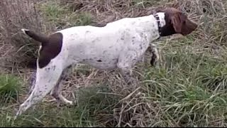 Pheasant Hunting with German Shorthaired Pointer (GoPro)