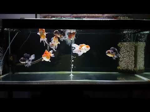 Oranda Goldfish Tank
