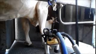 Traite des vaches montbéliardes dans le Jura