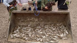 333 rats destroyed ratting with terriers