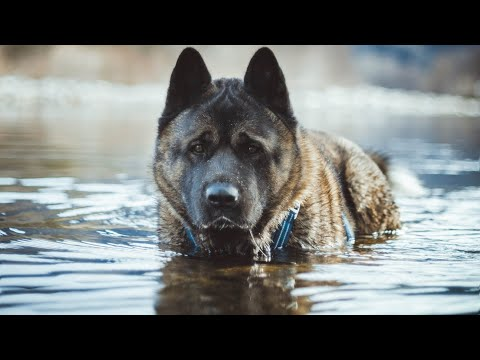 American Akita In The River
