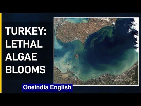 Turkey: Marine slime blooms off| Lethal Algae Blooms | Oneindia News