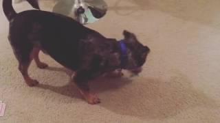 【天才犬】驚異のトランプマジックを成功させる犬
