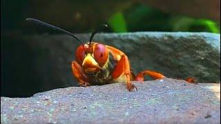 Giant Cicada Killer Wasp - Cicada Hawk