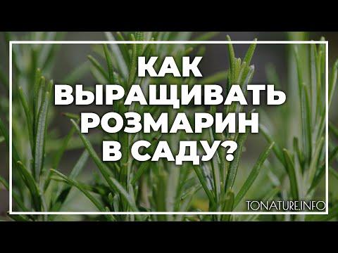 Как выращивать розмарин в саду? | toNature.Info