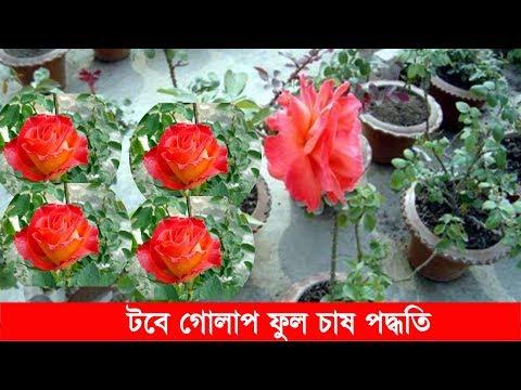 কিভাবে টবে গোলাপ ফুল গাছ লাগাবেন নিয়ম | How to Rose Cultivation