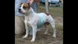 Toplace Staffordshire Bull Terriers