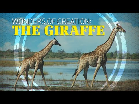 Wonders Of Creation: Giraffes