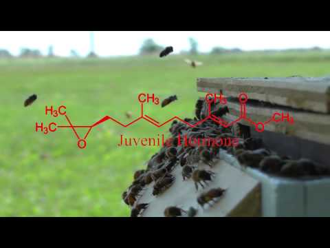 Honey Bees - Colony Collapse