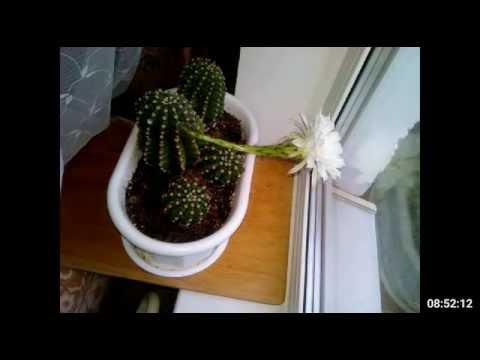 Как зацветает кактус Эхинопсис Эйриеза (Echinopsis eyriesii) - увядание