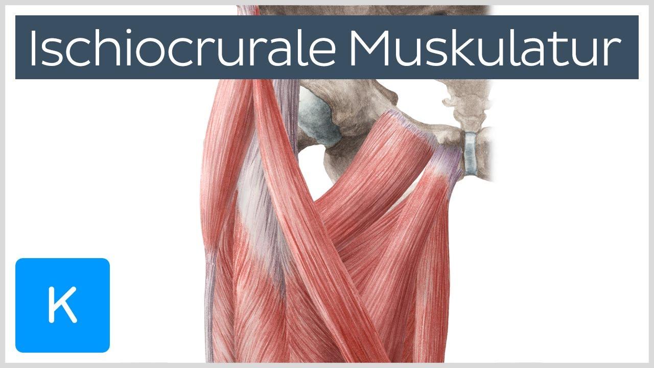 Ischiocrurale Muskulatur - Anatomie des Menschen | Kenhub - YouTube