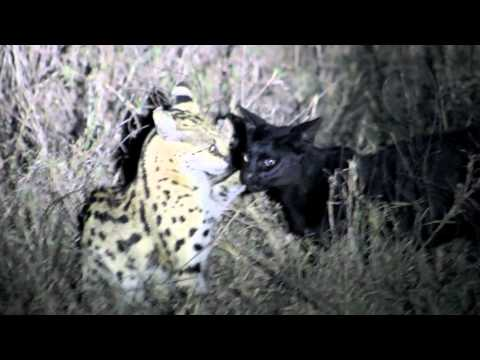 Magical interaction between a melanistic serval and regular counterpart